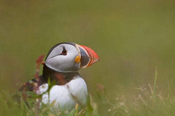 Papegaaiduiker (Lunga)