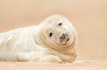 Robben Welpe von Gladys Klip