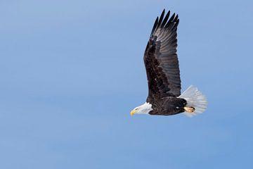 Bald Eagle ( Haliaeetus leucocephalus ), in flight against blue sky van