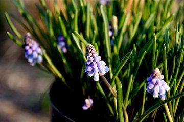Druifhyacint / Muscari planten van Stef De Vos