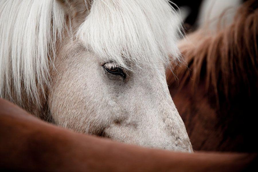 Icelandic Horse van Martijn Smeets