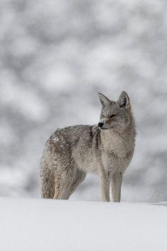 Coyote *Canis latrans* van