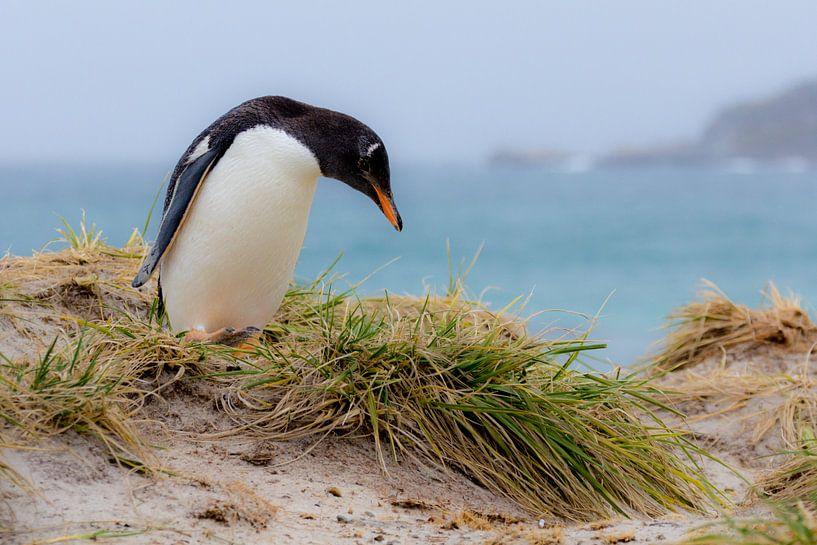 Gentoo penguin van Claudia van Zanten