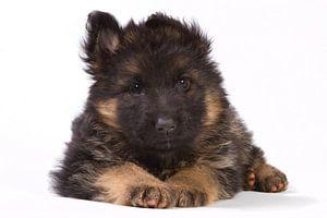 Duitse herder pup van