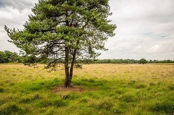 Pin sylvestre solitaire dans le champ sur Ruud Morijn