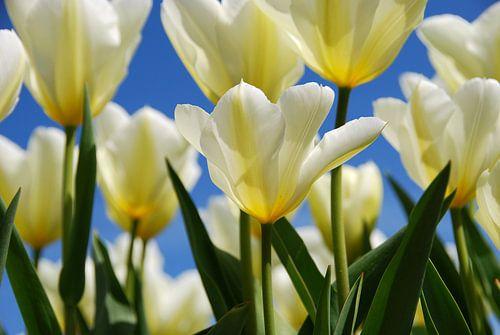 Witte tulpen, blauwe lucht. van