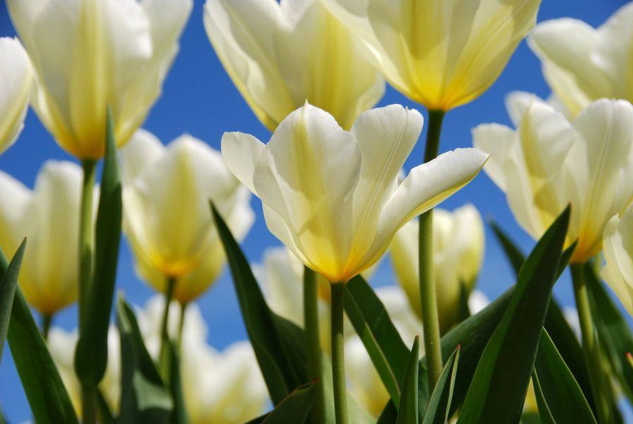 Witte tulpen, blauwe lucht.