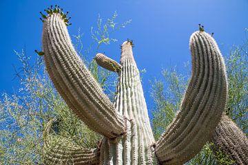 ARIZONA Saguaro Cactus II van