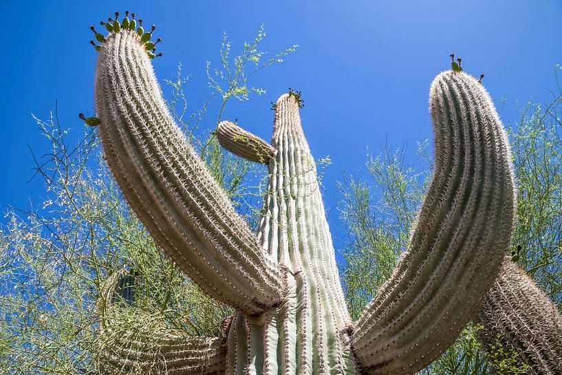 ARIZONA Saguaro Cactus II van Melanie Viola