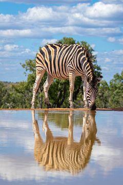 Trinken eines Zebras an einem Wasserloch mit Reflexion im Wasser. von Gunter Nuyts