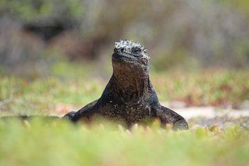 Zeeleguaan, Galapagos van