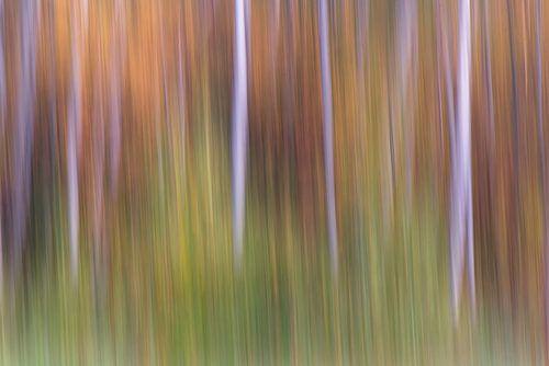 Dancing birch forest van