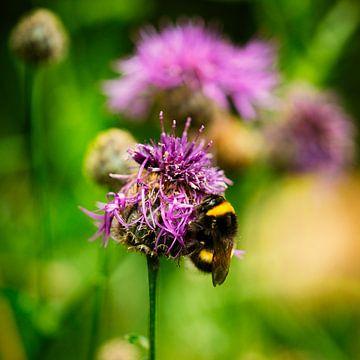 Macro d'une abeille sur un trèfle violet