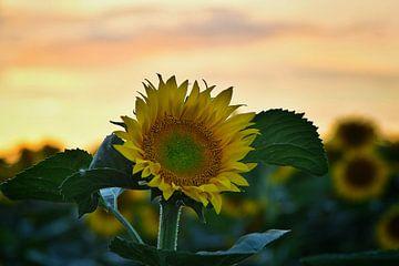 zonnebloemen