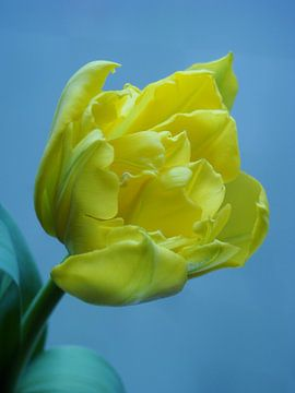 Tulp van Jonathan Kremer