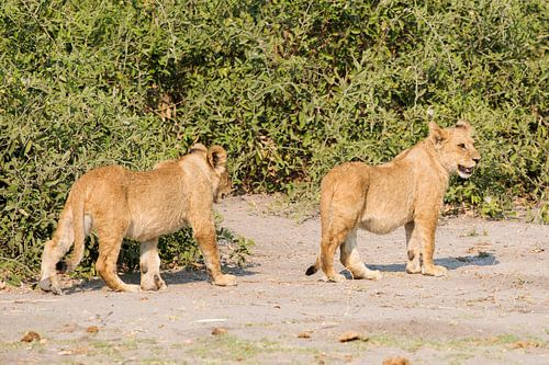 Afrikaanse Leeuwtjes spelen tezamen