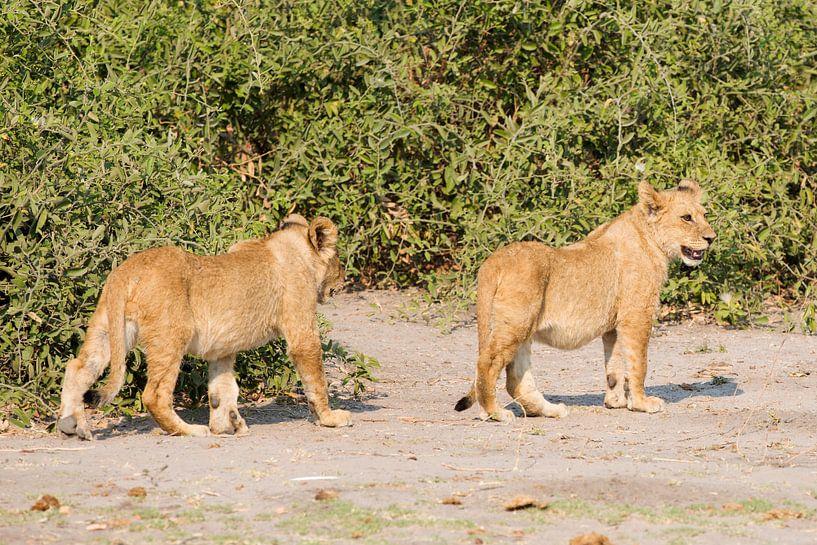 Afrikaanse Leeuwtjes spelen tezamen van Dexter Reijsmeijer