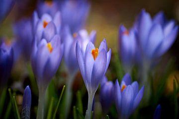 Purpurblaue Krokusse von Cor de Hamer