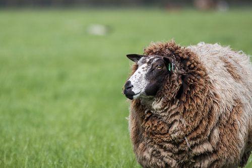 Niederländische Schafe im Frühling von