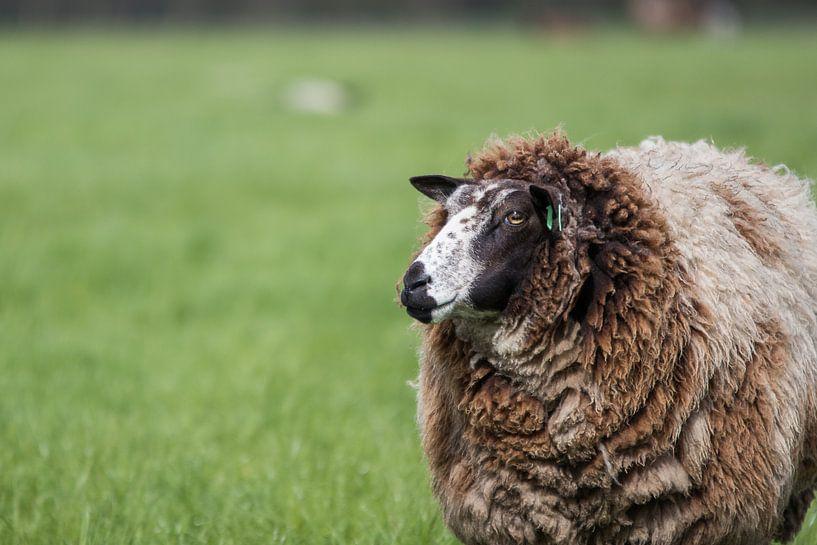 Niederländische Schafe im Frühling von Thijs van den Broek