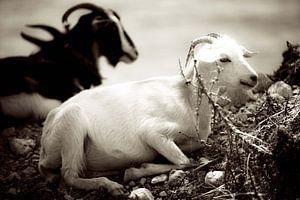 Goats II