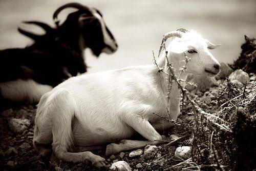 Goats II van