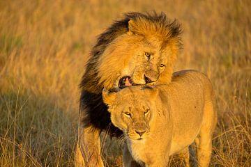 Leeuwen liefde in Masai Mara, Kenia van Jan Fritz