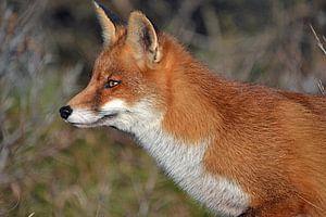 Ein Fuchs in den Dünen der Amsterdamer Wasserversorgung