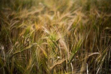 Gouden korenveld van Manja Herrebrugh - Outdoor by Manja