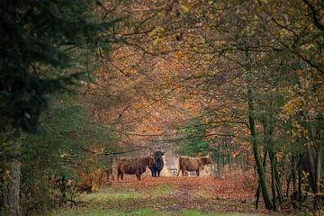 Herfst met Schotse Hooglander van Gert Hilbink