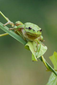 Baumfrosch am Schilfstamm und Kletterpflanze in grün von Jeroen Stel