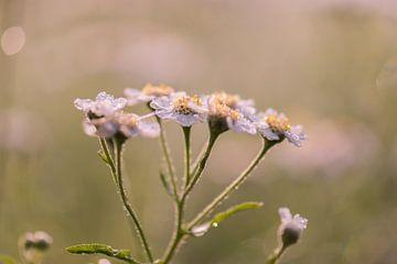 weiße Wildblume von Tania Perneel
