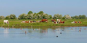 Roodbonte koeien van Hanneke Luit