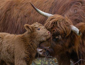 Highlander bébé écossais avec sa mère sur Arisca van 't Hof
