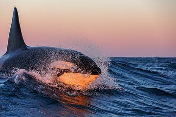 Orka surfing