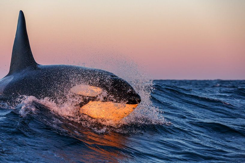 Orka surfing van Smit in Beeld