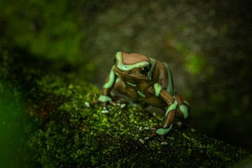 Bruin met groen gestreepte gifpijl kikker van Desirée Couwenberg