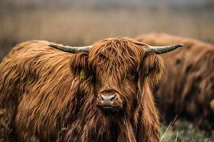 Schotse Hooglanders in het wild von