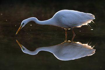 Great White Egret (Ardea alba) von AGAMI Photo Agency