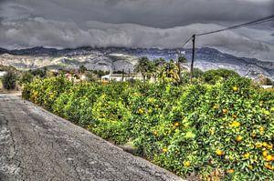 Sinaasappelenveld