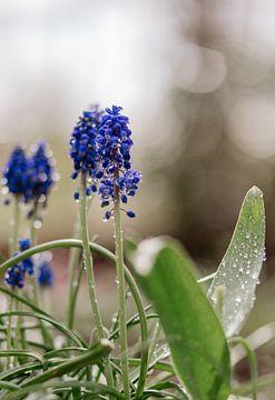 Blauwe druifjes van Tessa Dommerholt