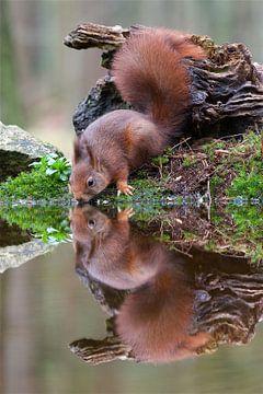 Drinkende eekhoorn met reflectie  van Dirk-Jan Steehouwer