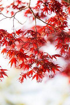 Japanse Esdoorn van Schram Fotografie