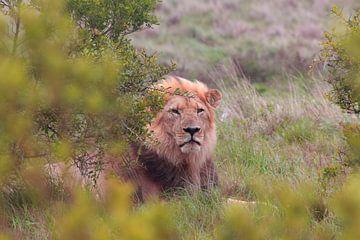 """""""Le lion se cache dans la savane. sur Capture the Moment 010"""