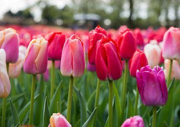 rote Tulpen auf den Blumenzwiebelfeldern im Küchenhof von Compuinfoto .
