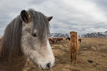 Isländische Pferde von René Wolters