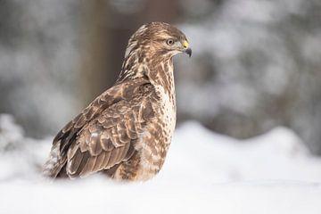 Buizerd in de sneeuw van Gert Hilbink