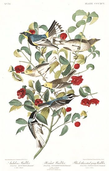 Heremietzanger van Birds of America