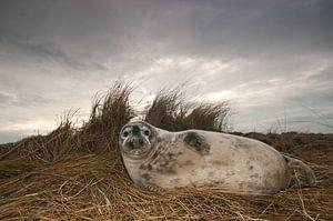 Grijze Zeehond op het strand
