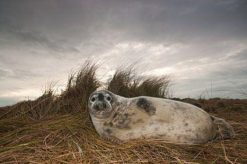 Grijze Zeehond op het strand sur Stijn Smits
